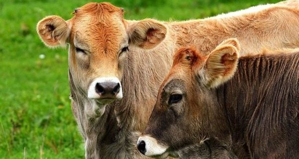 Management, marketing and differentiation tools for cattle producers