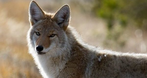 Coyotes spotted near communities