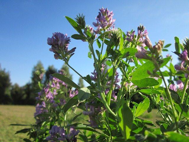 Alfalfa can improve land productivity