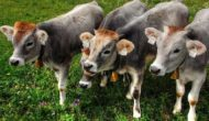 Colostrum helps beef calves build their immune systems
