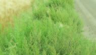 Kochia weed more than a nuisance