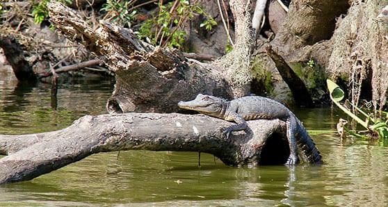 Down on the bayou: Cajun hospitality and gators
