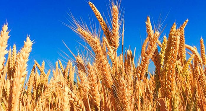 $2M boost for the development of new varieties of wheat